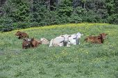stock photo of charolais  - Charolais and limousine beef cattle resting in the fields on a beautiful summer morning - JPG