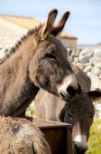 pic of soma  - group of donkeys near the wall of stones with grass and sky background