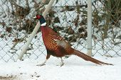 image of ringneck  - Nice Ringneck Pheasant walking on the snow in winter - JPG
