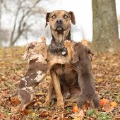 stock photo of catahoula  - Amazing Louisiana Catahoula dog with adorable puppies in autumn