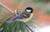 picture of great tit  - Photo of a great tit on a branch - JPG