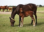 pic of mare foal  - Horizontal image of horses mare and foal eating in the meadow - JPG