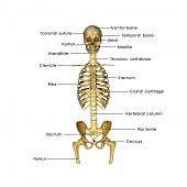 picture of sternum  - The rib cage is an arrangement of bones in the thorax of animals - JPG