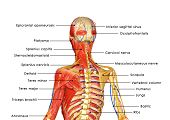 pic of skeletal  - is an organ system that gives humans  the ability to move using the muscular and skeletal systems - JPG