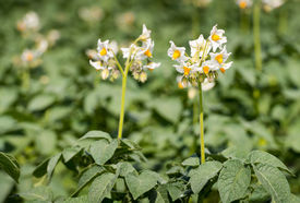 picture of solanum tuberosum  - Closeup of white and yellow blossoming potato or Solanum tuberosum plants in the early summer season - JPG