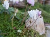 picture of lilas  - Wild cyclamens - JPG