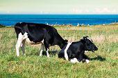 picture of sea cow  - Spanish milk cow in the seaside farmAsturiasSpain - JPG