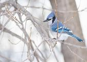 picture of blue jay  - A Blue Jay perched on tree branch.