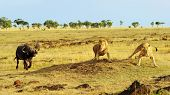 picture of african lion  - African Cape or Water Buffalo  - JPG
