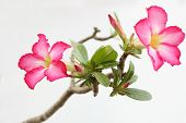 foto of desert-rose  - adenium arabicum is beautiful plant of desert and growth on stone - JPG