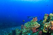 pic of manta ray  - Coral reef underwater and Manta Ray - JPG