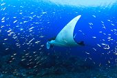 foto of manta ray  - Manta Ray - JPG