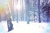 picture of snow forest  - Winter in the forest - JPG