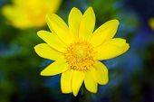 stock photo of adonis  - Beautiful spring yellow flowers Pheasant - JPG