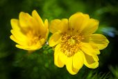 pic of adonis  - Beautiful spring yellow flowers Pheasant