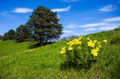 image of adonis  - Beautiful spring yellow flowers Pheasant - JPG