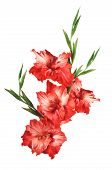 picture of gladiolus  - beautiful red gladiolus isolated on white background - JPG