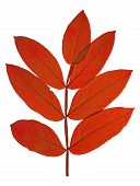 image of ashes  - The red autumn leaf ash on white background - JPG