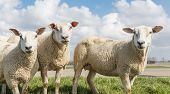 stock photo of spring lambs  - Sheep at sunny day in spring on top of a dike in the Netherlands - JPG