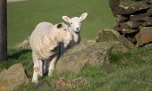 pic of spring lambs  - Pair of Cute Spring Lambs Holmfirth West Yorkshire