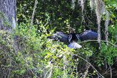 foto of tree snake  - Anhinga or Snake Bird Drying Its Wings on a Tree Branch - JPG