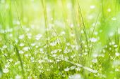 stock photo of wildflowers  - Wildflowers and green grass in a field. Summer background. Small depth of field