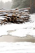 picture of cutting trees  - The cut down trees lying together in wood - JPG