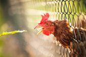 foto of hen house  - Hen in a farmyard  - JPG