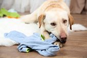 pic of messy  - Dog demolishes clothes in messy room - JPG