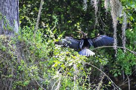 picture of tree snake  - Anhinga or Snake Bird Drying Its Wings on a Tree Branch - JPG