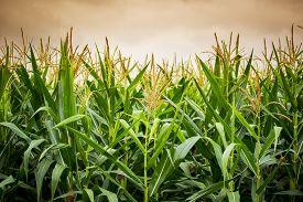 pic of sweet-corn  - Close up corn flower in sunset  - JPG