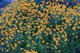 foto of black-eyed susans  - Black eyed susans growing in a garden - JPG