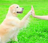 Owner Is Training Golden Retriever Dog On The Grass In Park, Giving Paw To Hand poster