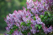 A Beautiful Bunch Of Lilac Closeup. poster