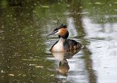 picture of great crested grebe  - A male Great Crested Greebe swimming in a lake - JPG
