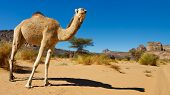 Camel In The Desert - Akakus (acacus) Mountains, Sahara, Libya
