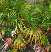 stock photo of saw-palmetto  - Palmetto fronds cover a dense forest floor - JPG