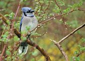 foto of blue jay  - A blue jay perched on a tree branch - JPG