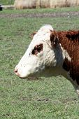 stock photo of hereford  - The face and eye of a Hereford cow covered with flies in early spring - JPG