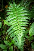 Polystichum Vestitum, Commonly Known As The Prickly Shield Fern Or Pūnui, Is A Hardy, Evergreen Or S poster