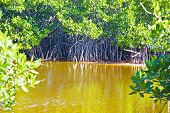 picture of sm  - a tranquil recovering swamp shows typical brown water and mangrove roots descending into the water. the swamp is recovering from an influx of salt water during the last hurricane that killed most of the vegetation. 