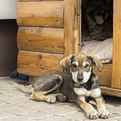 Funny Puppy Is Lying  Near Doghouse. Puppy poster