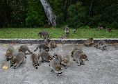 stock photo of soliciting  - A large group of raccoons searching for food.