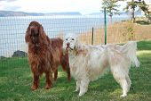 picture of english setter  - Irish Setter and English Setter together on a bluff overlooking the ocean. ** Note: Slight blurriness, best at smaller sizes - JPG