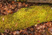 Fallen Tree In Autumn. Green Moss On A Fallen Tree. Seasonal Nature Background. poster