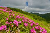 Rhododendron. Blossoming Pink Rhododendron In Summer Highland. poster