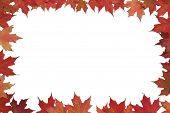 stock photo of fall leaves  - Red maple leaves bordering isolated white background - JPG