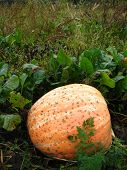 pic of cucurbitaceous  - The greater red pumpkin has grown on a kitchen garden - JPG