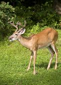 stock photo of buck teeth  - Whitetail buck with antlers in velvet that seems to be asking for more food - JPG