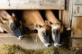 picture of dairy barn  - Three cows eat inside of a dairy barn - JPG